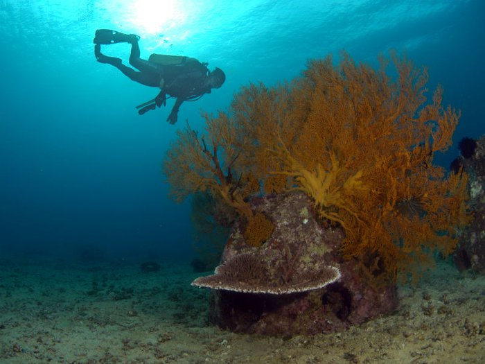 A scuba diver explores a well-established manmade coral reef