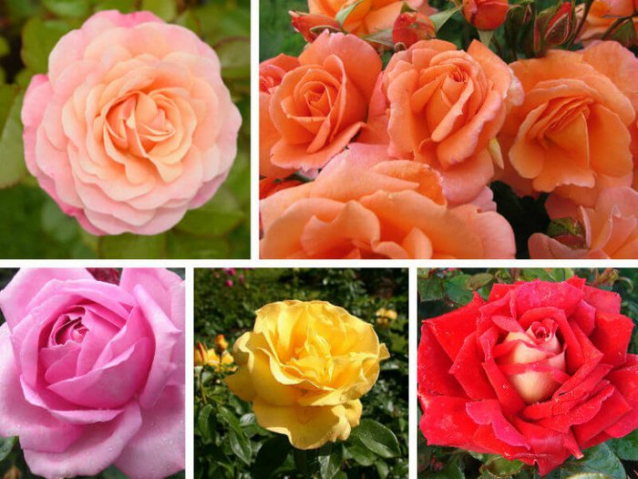 Collage of beautiful remembrance roses