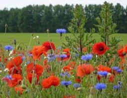 Poppies and Cornflowers - Mum's favourite flower combination