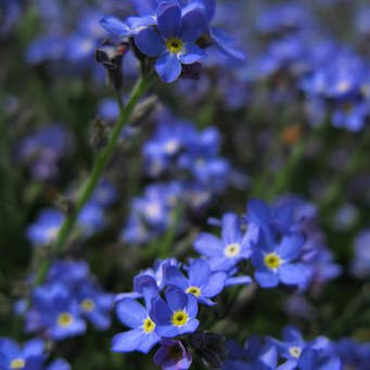 Forget me nots in memory of our lovely girl.
