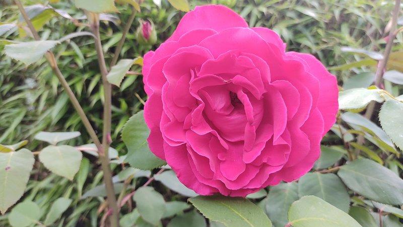 One of my mum's roses (June) xx