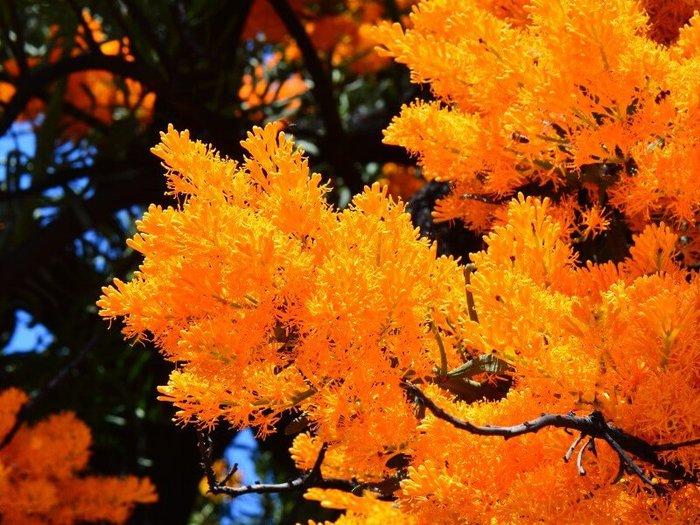 Close up of bright orange Nuytsia Floribunda