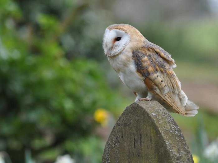 A barn owl perched on top of a gravestone in a cemetery nature reserve
